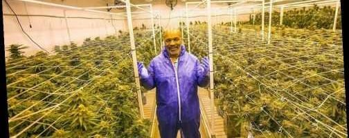 Mike Tyson Reveals Plans To Set Up Cannabis Farm To Cater For Pot Loving Brits On Caribbean Island The Sun All World Report